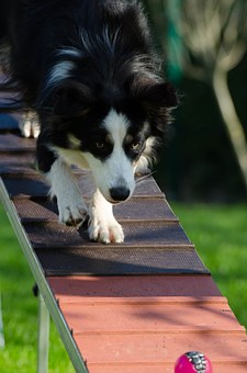 border-collie-747739__340